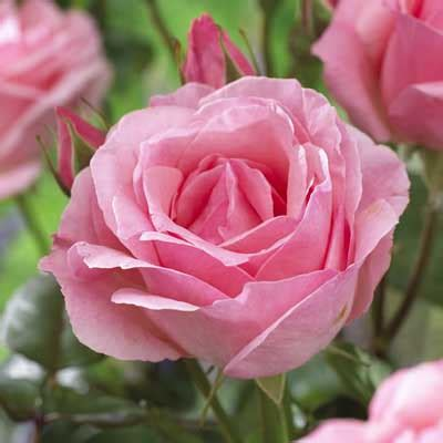 hybrid tea rose bush collection daily