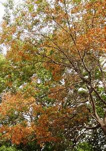 Monterrey Oaks: Shade solution that is less susceptible to ...