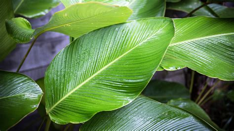 Why Leaf Sizes Vary With Latitude