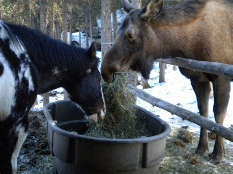 moose horse warmblood canadian equine hay seriously friend would tag equineink