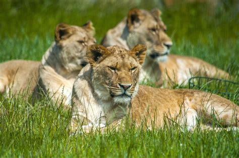 folly farm lion pembrokeshire zoo enclosure cubs wales pride