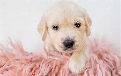 Retriever Golden Puppy Dogs Puppies Dog Labrador