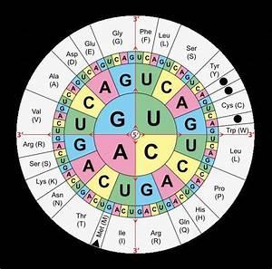 Proteinbiosynthese   Genexpression