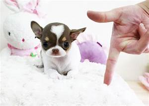 Baby Harmony Chihuahua Teacup Puppy For Sale Micro Chiwawa ...