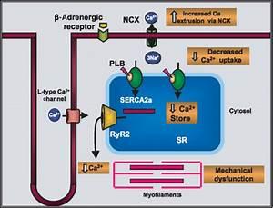 Serca2a Gene Therapy For Heart Failure  Ready For Primetime   Molecular Therapy