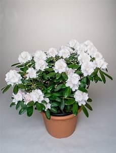 Kleinwüchsige Immergrüne Hecke : rhododendron schneekrone rhododendron yakushimanum ~ Lizthompson.info Haus und Dekorationen