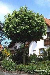 Ahorn Frucht Name : gehlhaar gartenbaumschule hannover pflanzen laubb ume kugel ahorn acer platanoides ~ Frokenaadalensverden.com Haus und Dekorationen