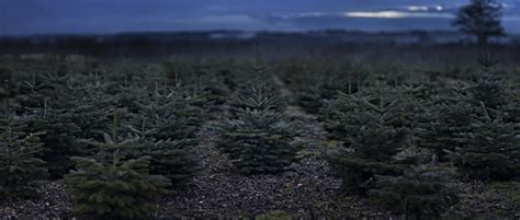 these spooky dead christmas tree photos are not full of