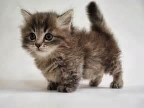 munchkin cats 25 best ideas about munchkin kitten on