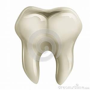 Diente molar; Dientes Molares; Molar; Molares; Muela; Muelas
