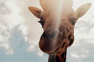 animal, animals, cloud, clouds, cute, giraffe - image ...