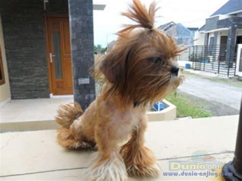 dunia anjing jual anjing shih tzu shihtzu imut
