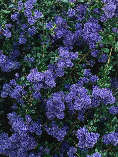 11 Best Images About Climbing Plants On Pinterest Pvc