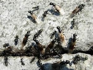 Ameisen Im Haus Ursache : das gro e krabbeln ameisen im haus die umweltberatung ~ A.2002-acura-tl-radio.info Haus und Dekorationen