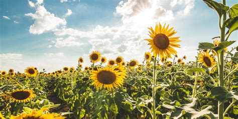 Looking to know how to get coin master unlimited coins? 30 Best Sunflower Fields Near Me - Top Sunflower Fields ...