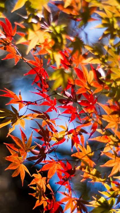 Iphone Leaves Maple Autumn Twigs Iwall365 Landscape