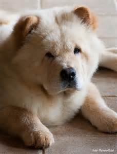 Dog Breed Chow Chow Puppies