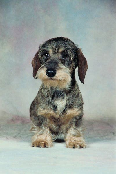wire haired dachshund grooming styles pets