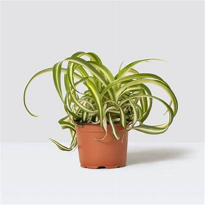 Patch Plants Plant Spider Curly Indoor Chris