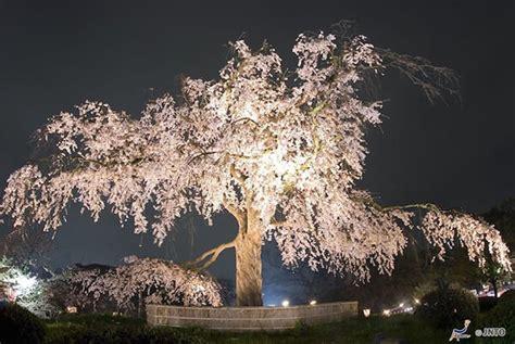breathtaking cherry blossom    night