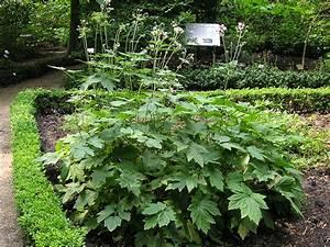 Welche Pflanzen Kann Man Im Herbst Pflanzen : herbst anemone staude anemone japonica pflanze japan ~ Articles-book.com Haus und Dekorationen