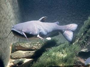 Blue Channel Catfish | Channel+catfish+vs+blue+catfish ...