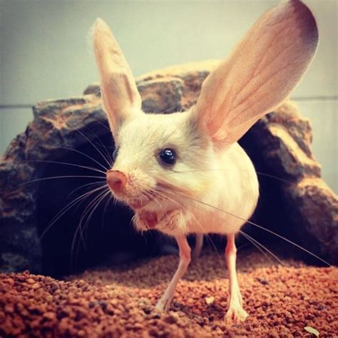 long eared jerboa   nocturnal mouse  rodent