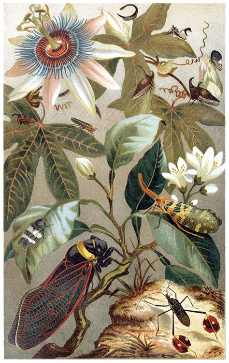 cicadas   insects  book illustrations