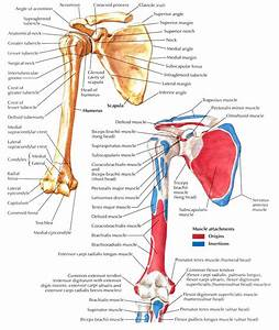 Scapula Attachments Related Keywords - Scapula Attachments ...
