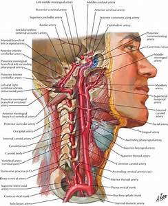Throat And Neck Anatomy   Throat And Neck Anatomy Diagram