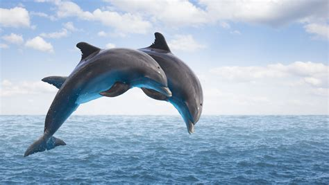 dolphins facts