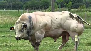 Belgian Blue, una raza de súper vacas musculosas y enormes