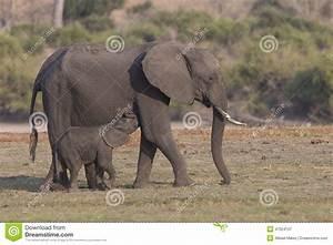Thai Elephant Design Baby Elephant Nursing Milk From Mother Stock Photo Image