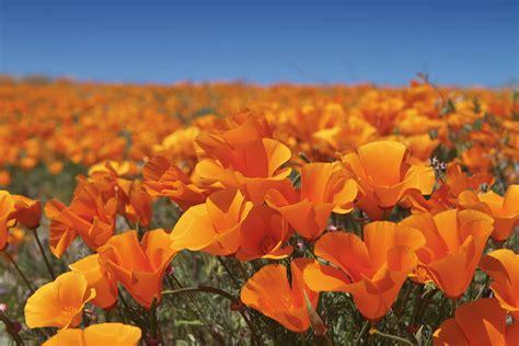 ca poppy field flowers sri federal credit union
