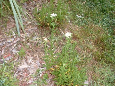 Potted Plants - Companion Plants - Achillea decolorans