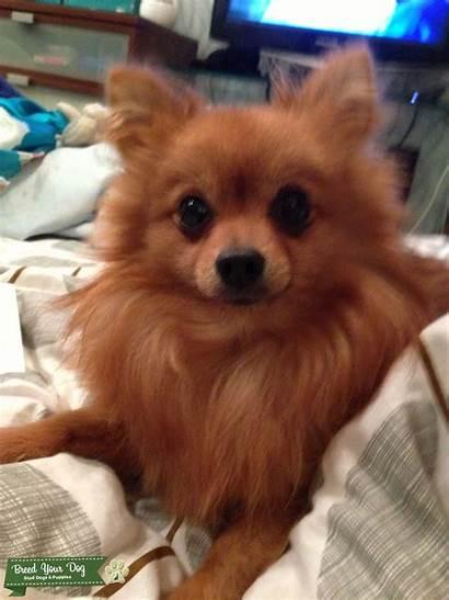 Pomeranian Toy Teacup Studding Dog Dogs Breed