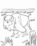 Coloring Bison Native Animal Sheets Wild Crafts North Activity Plains Animals America Buffalo Indians Americans Wildlife Printable Sheet Honkingdonkey Indian sketch template