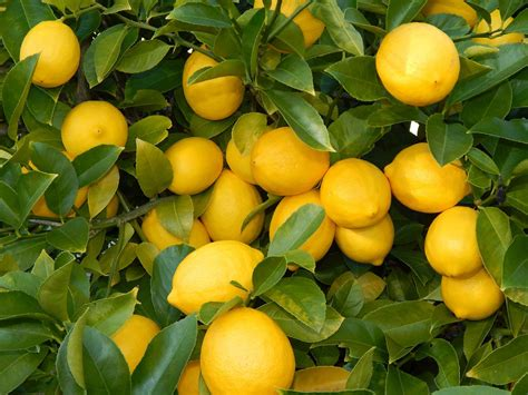 lemon wallpapers images  pictures backgrounds