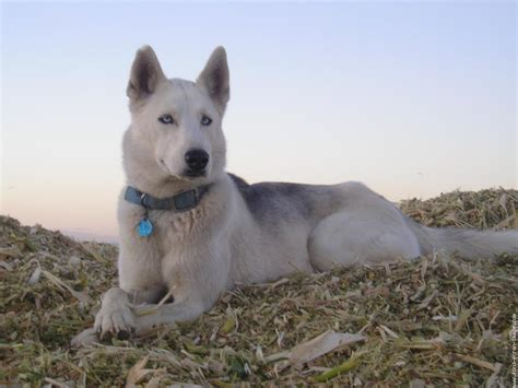 Le Chien by The Wolf Dog Siberian Husky Hd Wallpapers