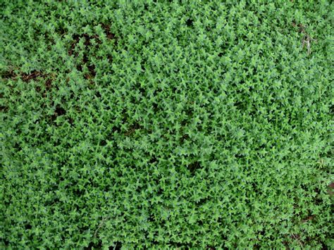 fast growing ground cover online plant guide thymus choratus chor thyme