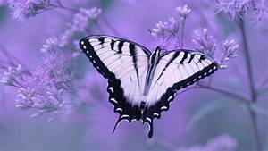 White, Black, Butterly, In, Light, Purple, Background, 4k, Hd