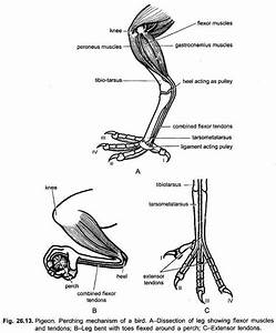 Muscular System Of Pigeons  With Diagram