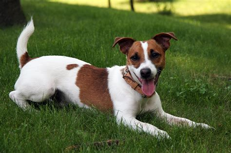 Filejack Russell Terrier  Jpg