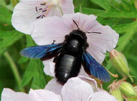 wildbienen teil  bienenarten arten von wild bienen