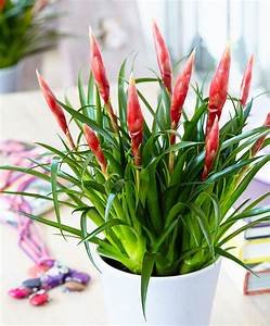 Flammendes Schwert Pflanze : kaufen sie jetzt zimmerpflanze vriesea 39 multiflower astrid 39 ~ Frokenaadalensverden.com Haus und Dekorationen