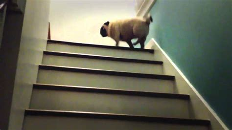 magic pug  stairs  lava youtube
