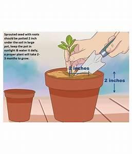 Home Garden Fruit Seeds Combo 4 Pack  Orange  Guava