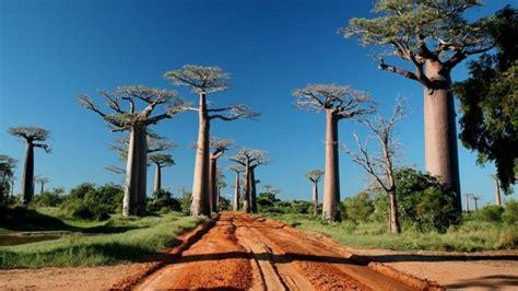 Découvrez les secrets des baobabs, ces géants de ...