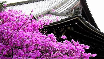 Sakura Flower Wallpapers Tidur Tree Blossom Yang