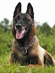 230 best ~Belgian Malinois~ images on Pinterest | Belgian ...
